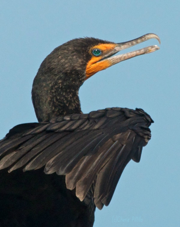 Aquamarine eyes, hook-tipped bill, and orange facial skin of Double-crested Cormorant