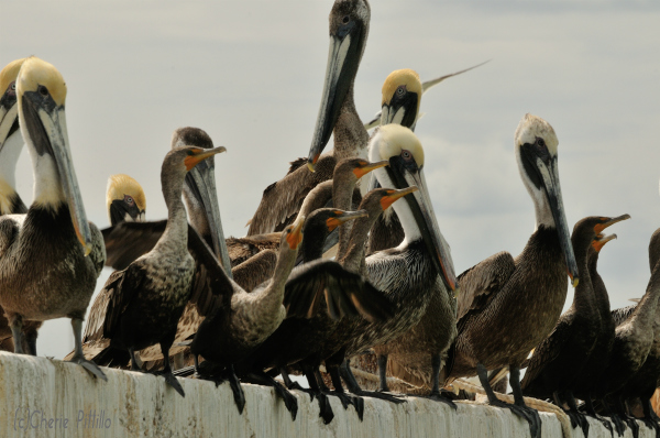 Cormorants often hang out with other birds in loafing areas