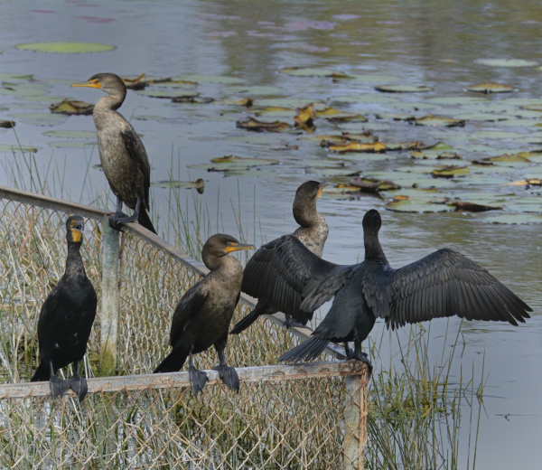 Cormorants spread their wings to dry after catching prey under water