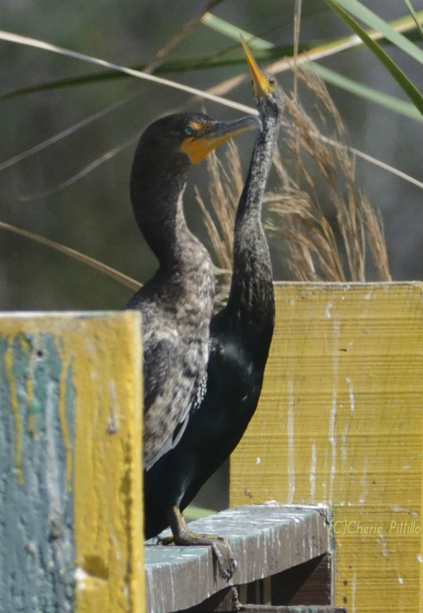 Double-crested Cormorant on left with Anhinga; notice bill shape and neck differences