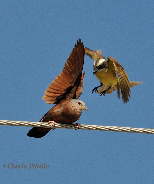 Flycatcher flies at Ruddy Ground Dovei.