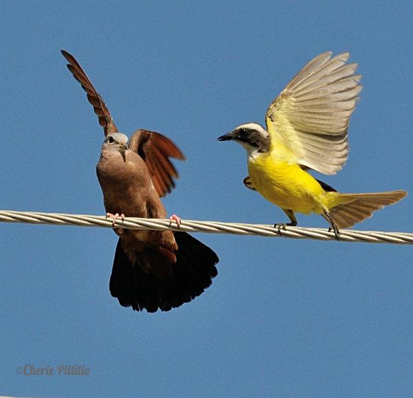 Flycatcher gets close.pg