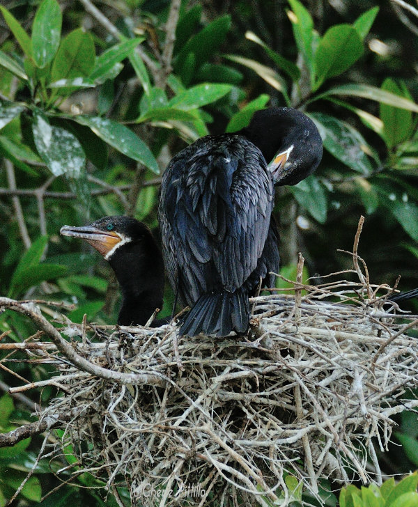 Nesting pair of Neotropic Cormorants; notice feathers in front of eye, and white feathers at mouth and throat