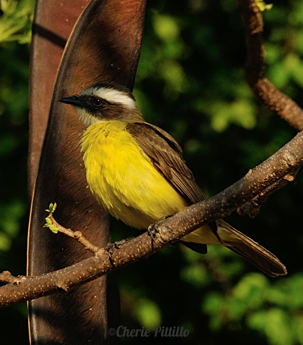 Side view of Social Flycatcher