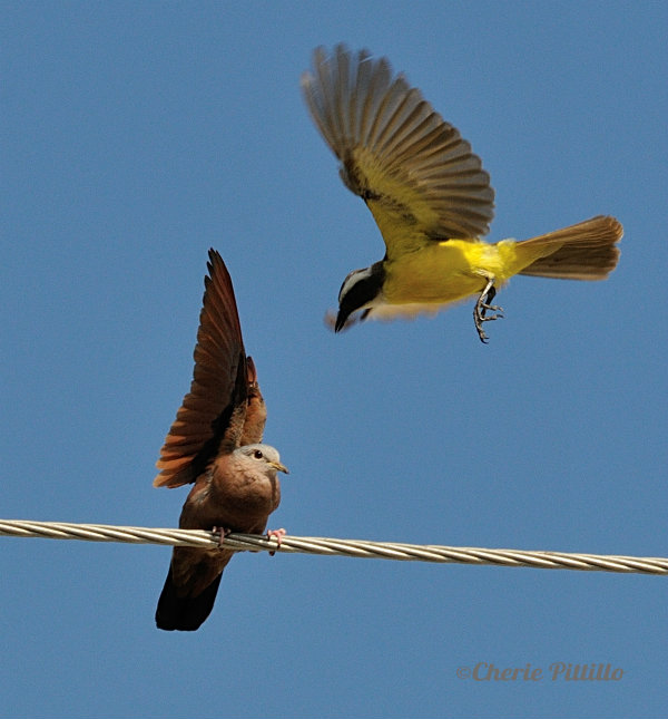 Social Flycatcher attacks another dove.