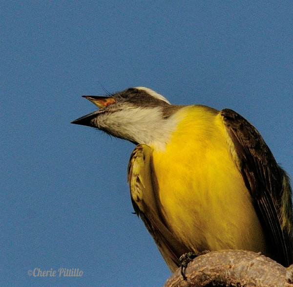 Social Flycatcher with open mouth
