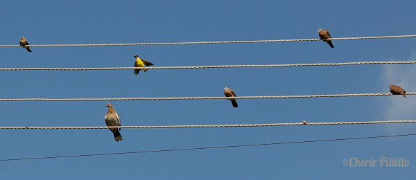Yellow-chested Social Flycatcher arrives on lines of communication.