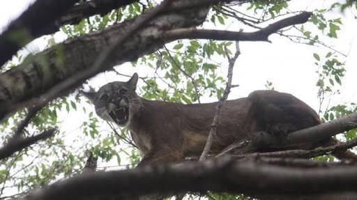 The puman was found about 6 meters high in a zapote tree. (PHOTO: sipse.com)