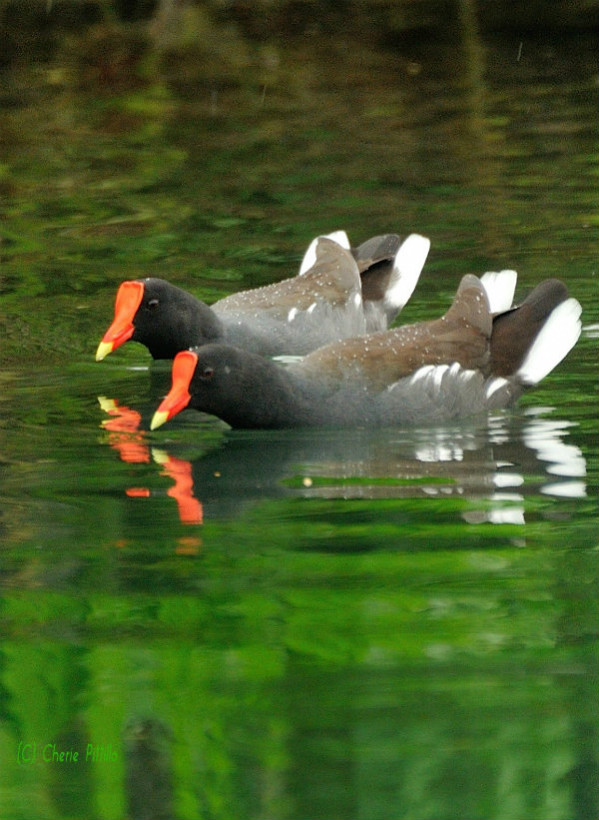 A pair of Common Gallinules