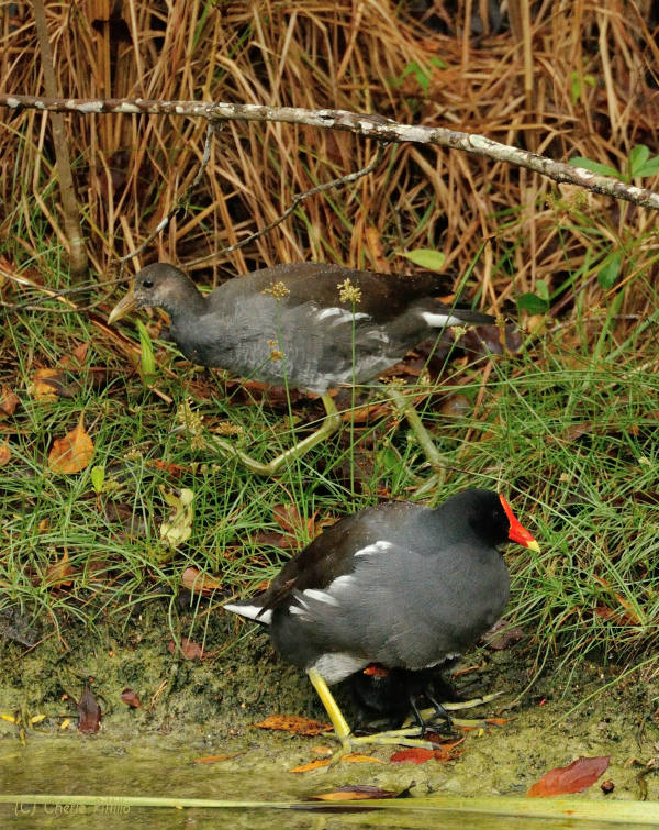Adult Common Gallinule shields chicks under its body while a juvenile helper walks behind them