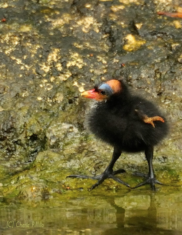 Alien-looking Common Gallinule chick