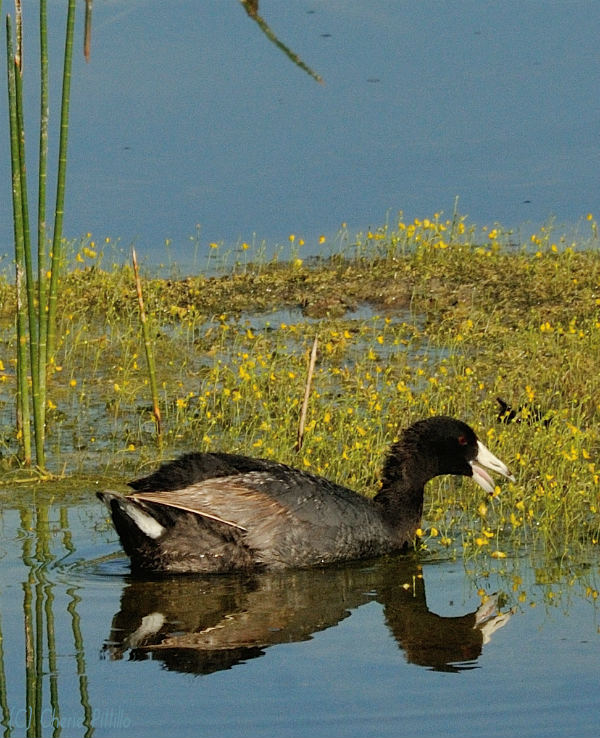 American Coot mainly feeds on aquatic vegetation