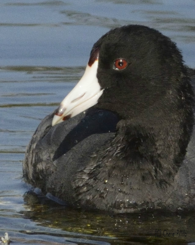 Close-up of American Coot