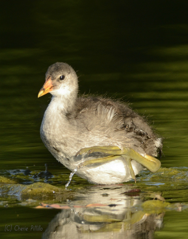 Juvenile and adult Common Gallinules may lift feet out of water while wading