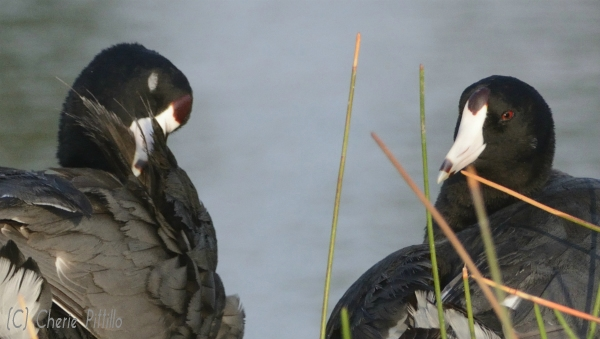 Two different shapes of American Coot frontal shields