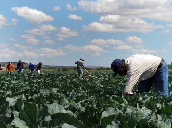 Mexican farm workers cut weeds in a cabbage field near King City, Calif. Many Mexican workers in the U.S. send money to relatives back home. (PHOTO: AP Photo/Gosia Wozniacka)