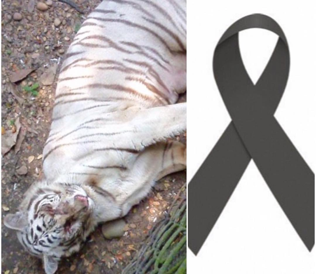 Bengal Tigress Shakira died on the 31st of May in Yumká Zoo