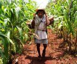 A Maya farmer in cornfield. (PHOTO: posta.com.mx)