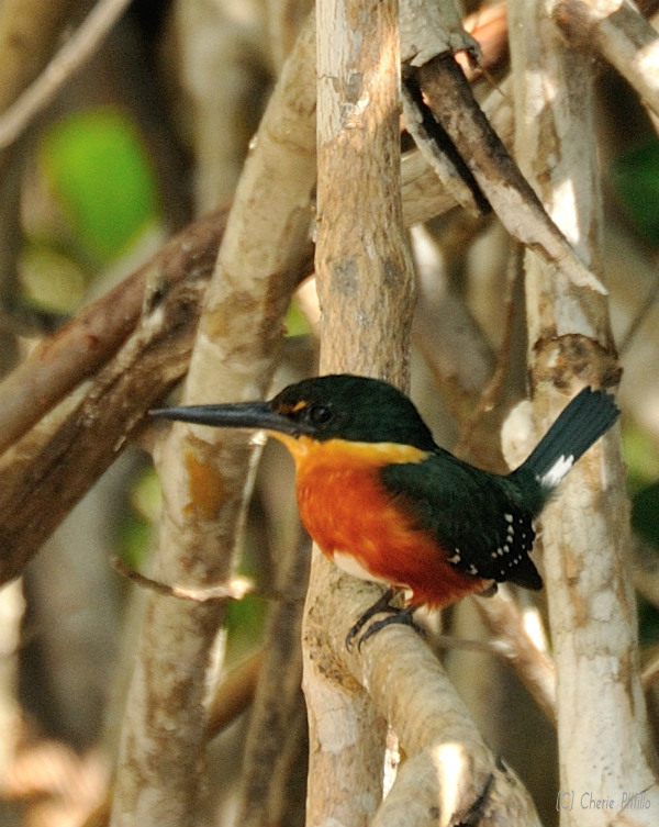 American Pygmy Kingfisher male