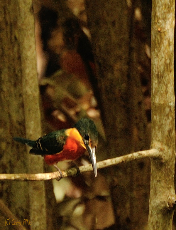 American Pygmy Kingfisher searches for food