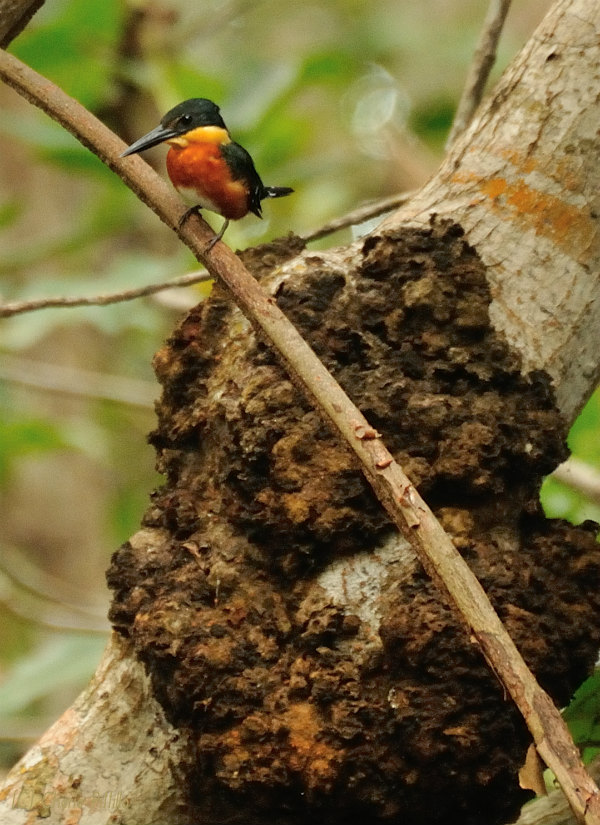American Pygmy Kingfisher with small termite mound on tree