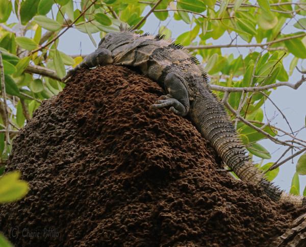 Tree-dwelling termites build their home