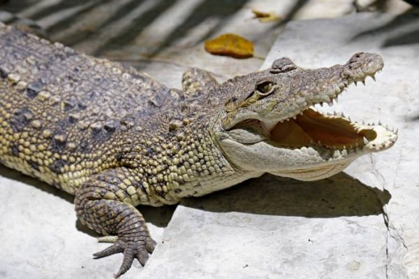 Crocodiles have been displaced from their natural environms by development.