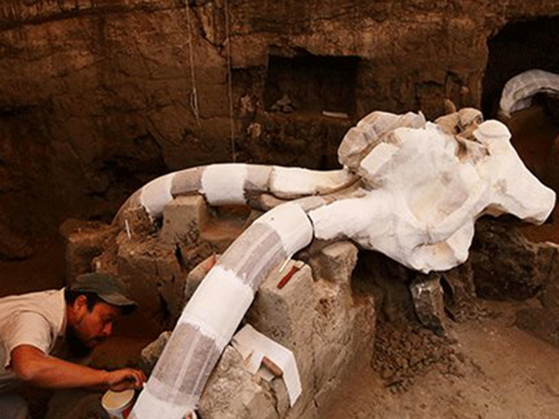 Archaeologists unearth the remains of a 14,000-year-old Columbian mammoth in the Tultepec village in Mexico City. The fossilized remains were discovered during a drain installation, lying two meters underneath a village street. ( Photo: Tech Times)