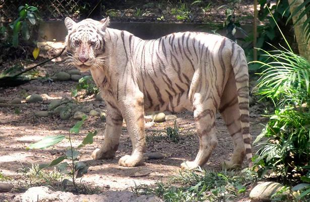 rep-tigre-de-bengala-001