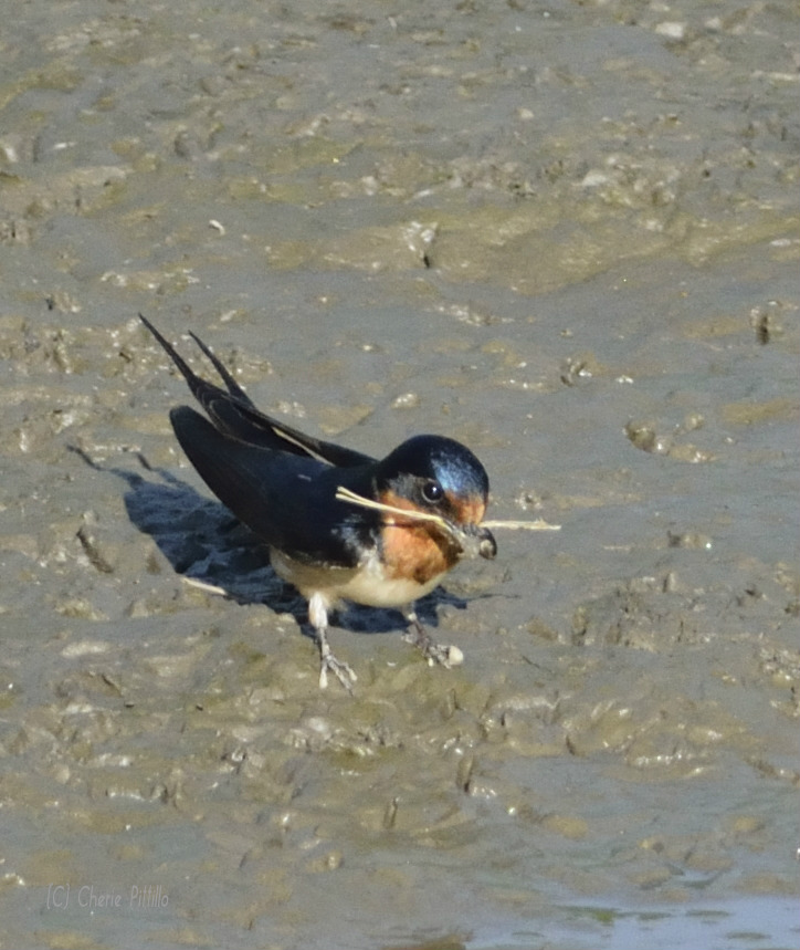 Grass and mud packed into large mouth of female Barn Swallow