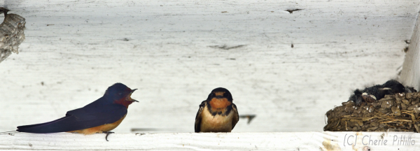 Male Barn Swallow appears to __converse__with female at their nest with chicks