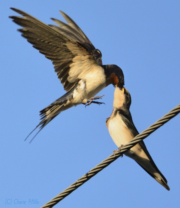 Mother Barn Swallow feeds compressed insects to young
