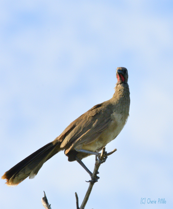 Plain Chachalaca adult