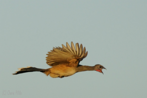 Plain Chachalaca gives a loud call even in flight