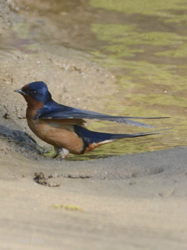 Side view of male Barn Swallow shows cinnamon colored chest and underparts