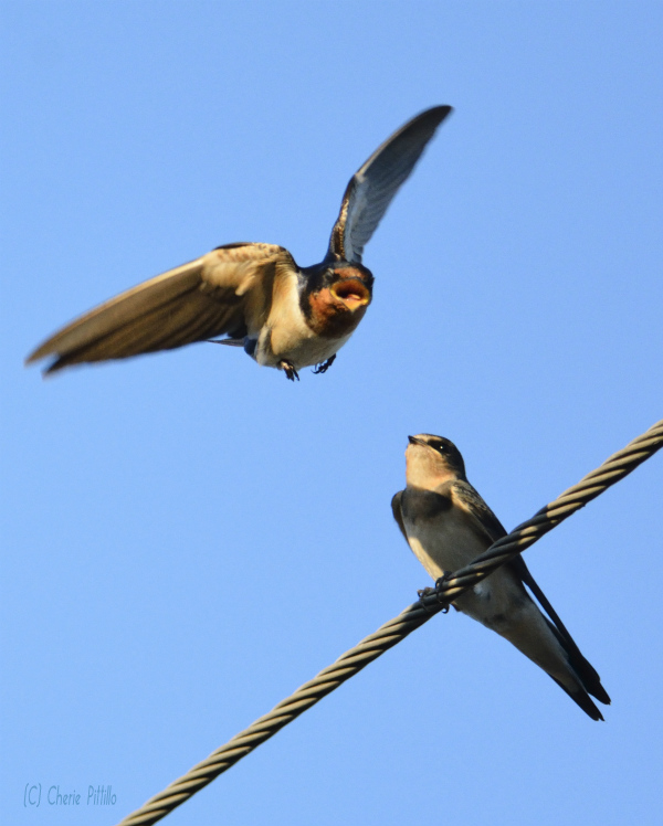 Tiny bill belies the big mouth of the Barn Swallow