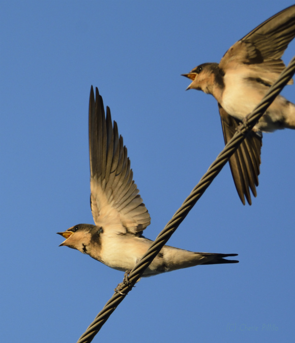 Young Barn Swallows beg for food with wing fluttering.