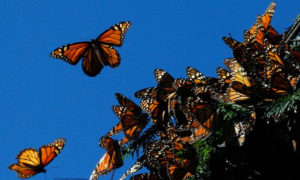 Monarch butterflies nesting in central Mexico. (PHOTO: theguardian.com)