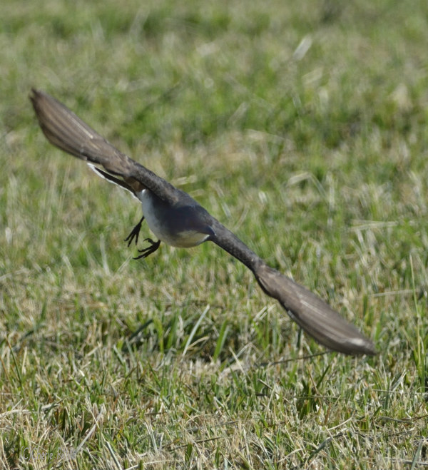Eastern Kingbird flies near ground to search for insects