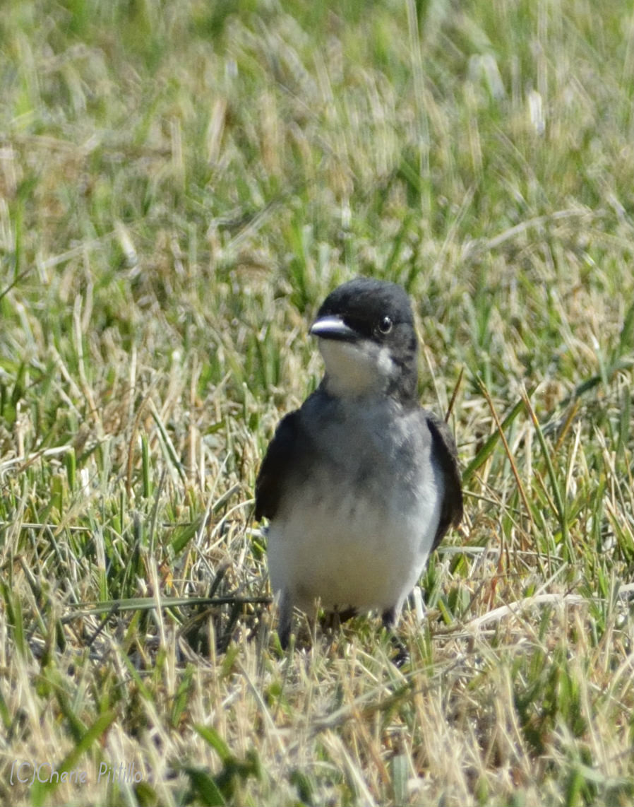 Eastern Kingbird may capture insect prey on ground