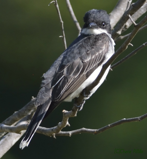 Eastern Kingbird may hawk for insects. Perhaps it has a __hawk eye__.