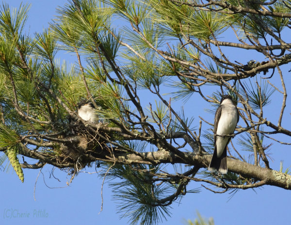 Nest of Eastern Kingbird