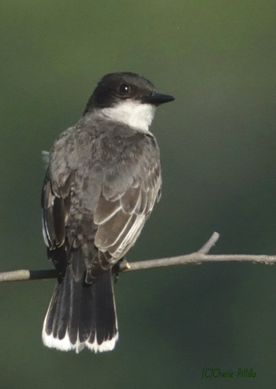 With its white-tipped tail the Eastern Kingbird is easily identified