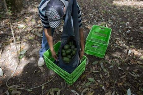An avocado farm worker in Michoacán. (PHOTO: ap.org)