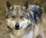 Mexican wolf (PHOTO: infograph.venngage.com)