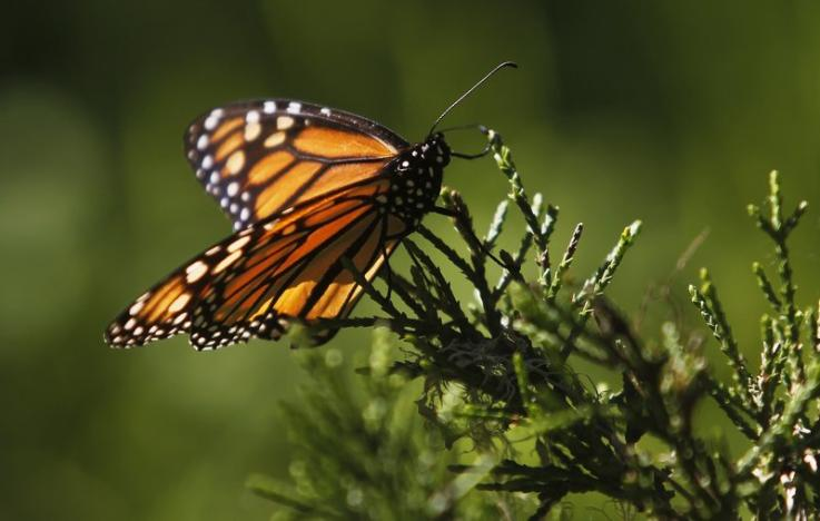 A monarch butterfly clings to a plant at the Monarch Grove Sanctuary in Pacific Grove, California, U.S. on December 30, 2014. REUTERS/Michael Fiala/File Photo