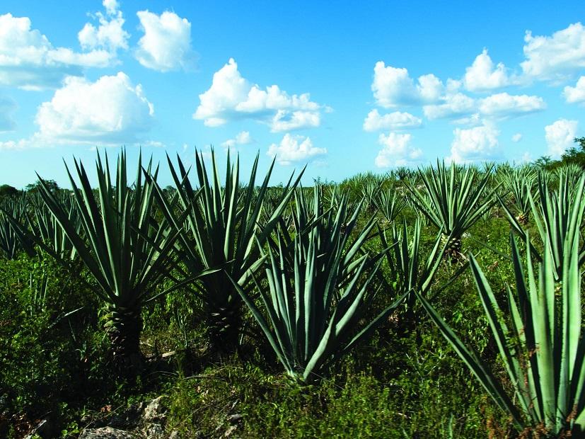 Henequen plantation