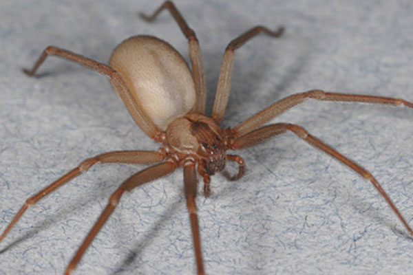 Violinist Spider (Loxosceles genus) Photo: Live Science