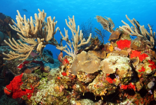 Colorful corals are common in the waters of Cozumel. (PHOTO: PRNews/El Cid Vacations Club)
