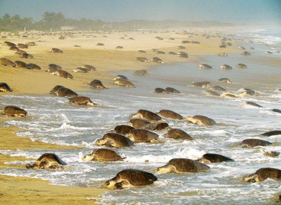 Nesting sea turtles arrive to lay their eggs. (PHOTO: viisitapuerto.com)